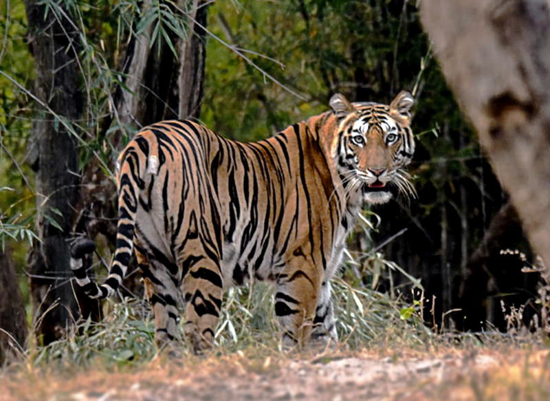 syna tiger resort bandhavgarh india