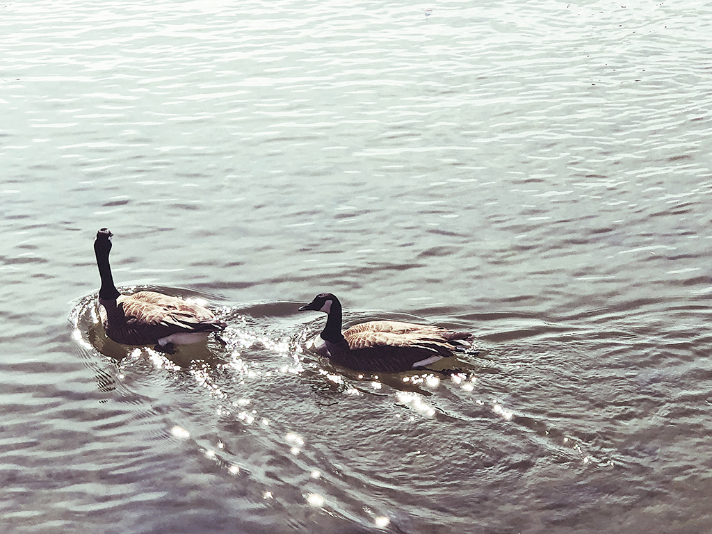Elizabethton Tennessee geese spring water river
